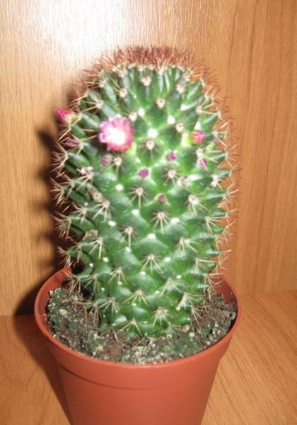Как ухаживать за цветущим кактусом в домашних