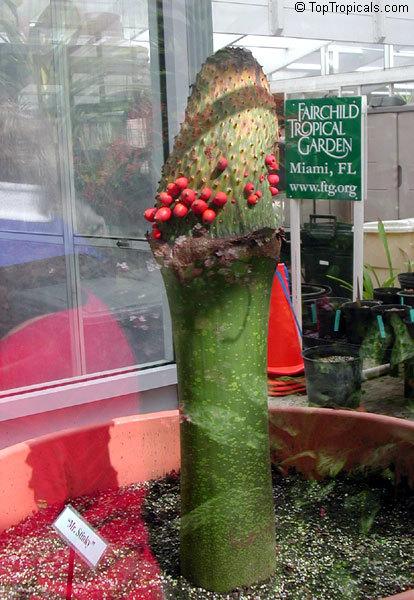 Цветок змеиная пальма уход