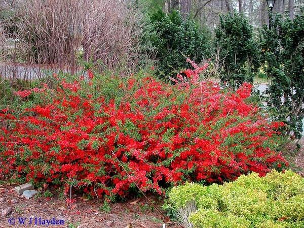 Декоративный кустарник с красными цветами