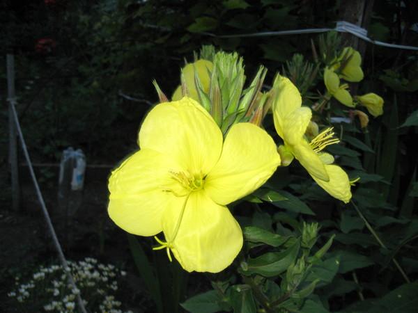 Ночная свеча цветок с