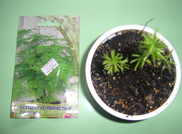 Выращивание из семян аспарагуса 46