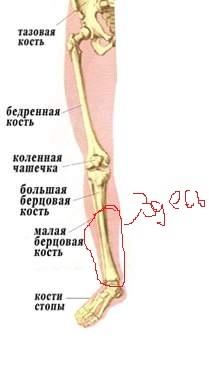 правильно больберцовой кости внизу ноги все могут разделять