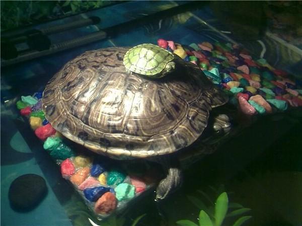 Не растут красноухие черепахи в домашних условиях