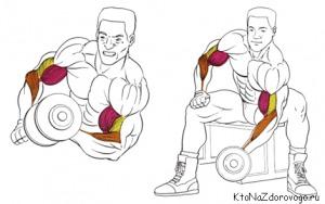 Упражнения с гантелями в домашних условиях для бицепсов