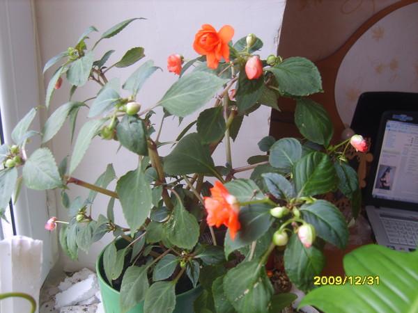 Цветы комнатные похожие на розы