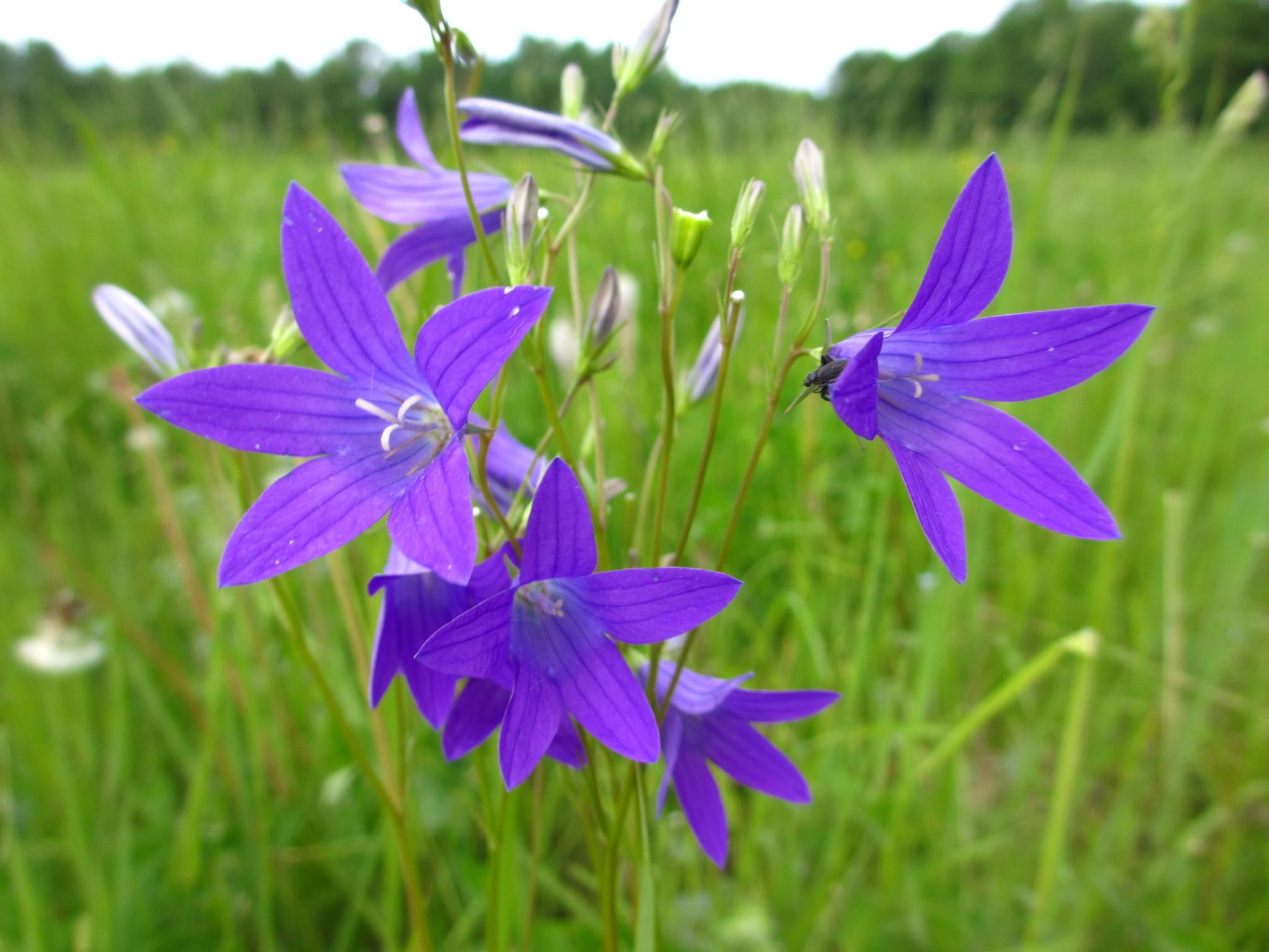 Цветок растет на лугах фото название