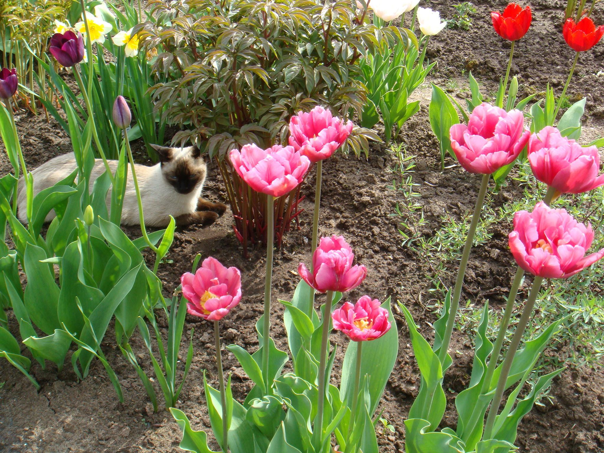 Выгонка тюльпанов в домашних условиях к 8 Марта 32
