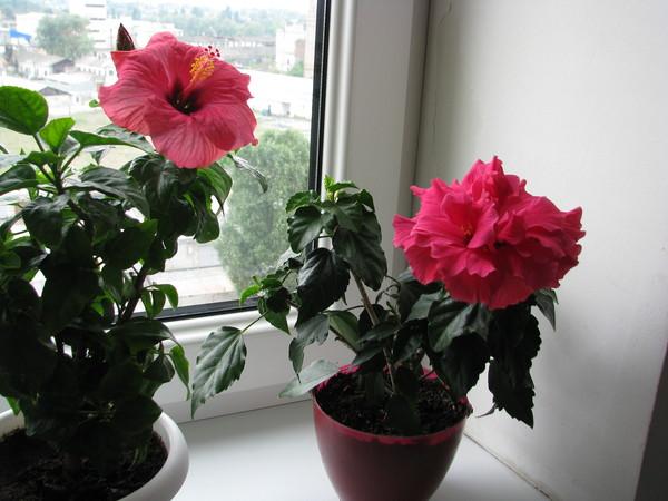 Китайская роза что делать после цветения