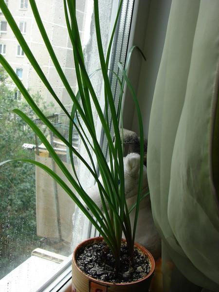 Домашний цветок на длинном стебле 7