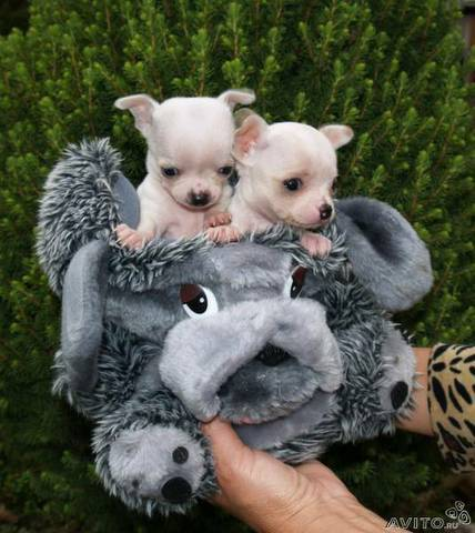 Чихуа хуа - собака маленького размера фото собаки, чихуа хуа
