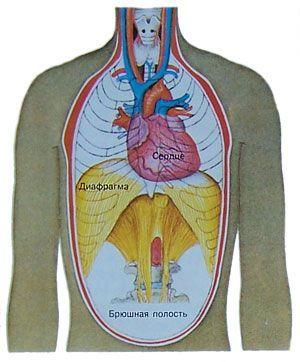Тело и сердце где находится
