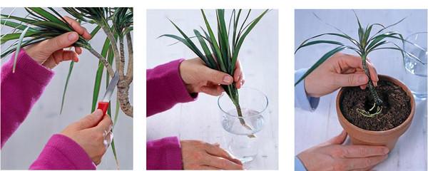 Фото как размножить драцену