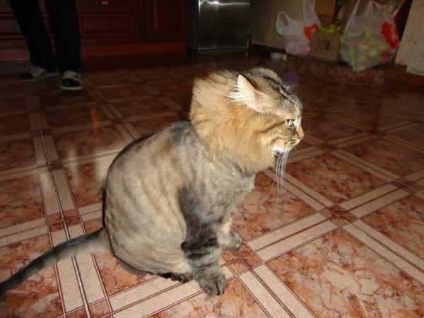 Почему у кошки скатывается шерсть