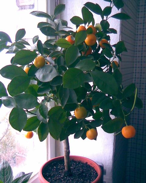 Как правильно посадить мандарин в домашних условиях из косточки