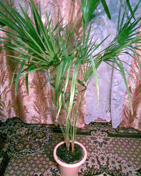 В какой горшок сажать финиковую пальму 13