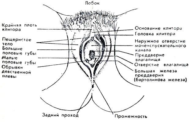 Женские интимные органы строение