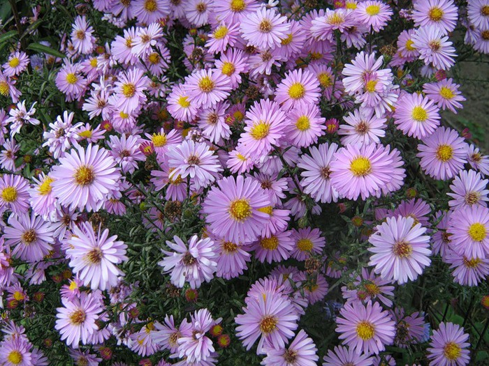 Сентябринка цветов