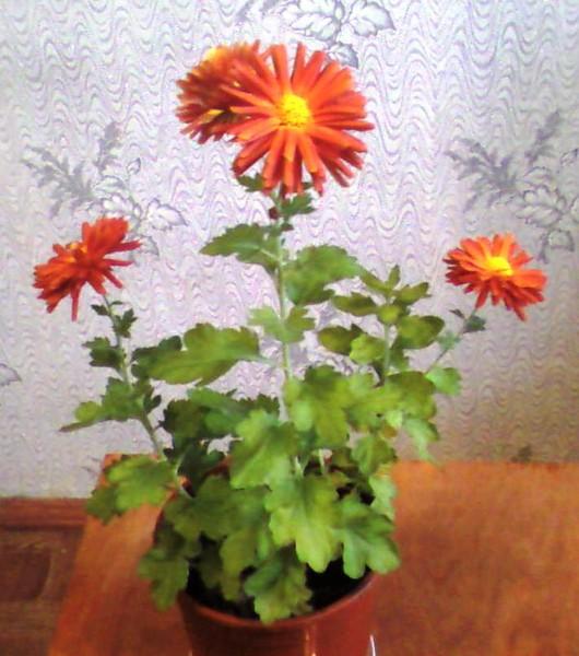 Обрезка хризантемы в горшке в домашних условиях 375