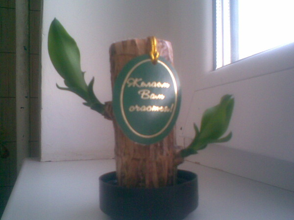 Как ухаживать за дерево счастья в домашних условиях