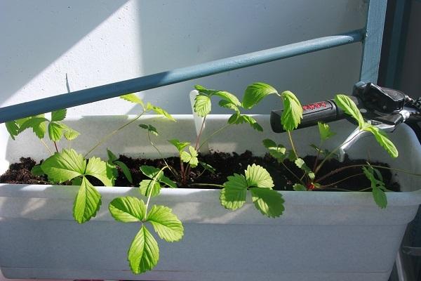Старые листья обрезают на такую же высоту, не затрагивая точки роста