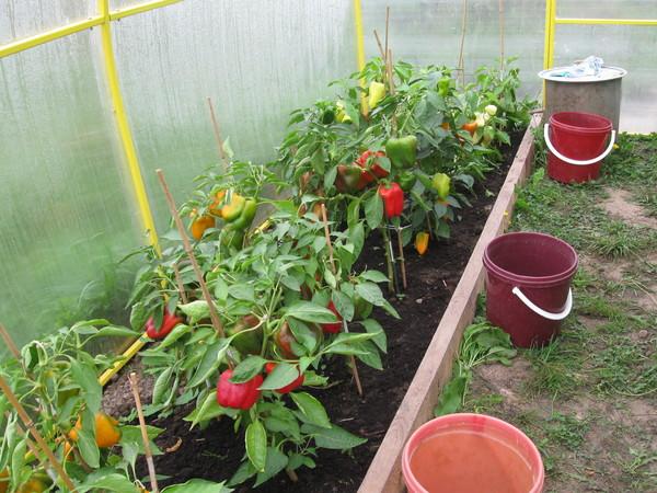 Можно ли помидоры сажать вместе с перцами 958