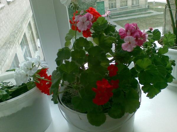 Можно ли в один горшок сажать разные цветы 4