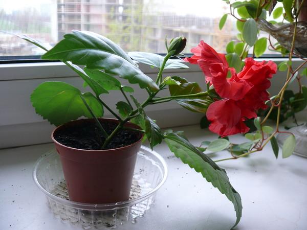 Как правильно посадить гибискус в домашних условиях