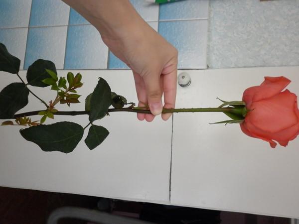 Подарили розу она дала росток что делать