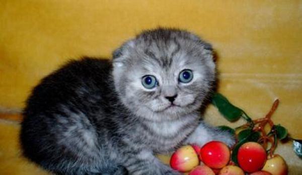 Питомник персидских и экзотических кошек oxi sable