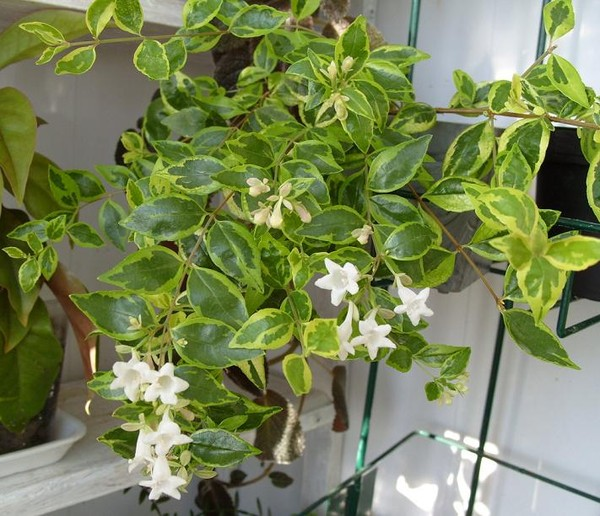 Пестролистные цветы комнатные
