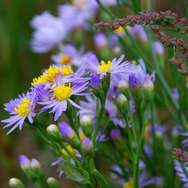 Полевые цветы каталог с