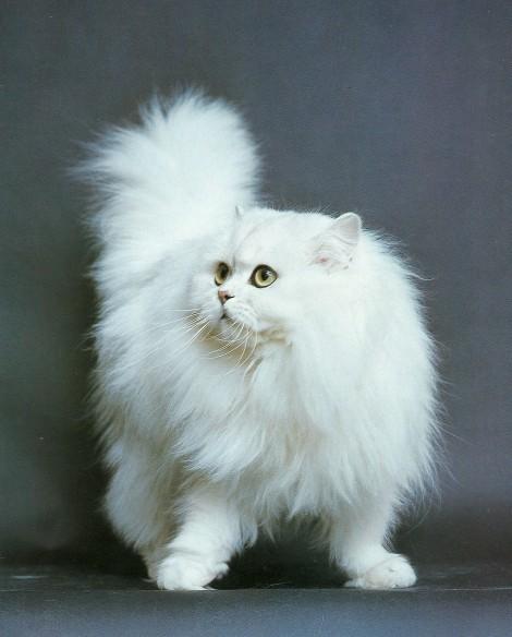 порода кота из знакомства с родителями