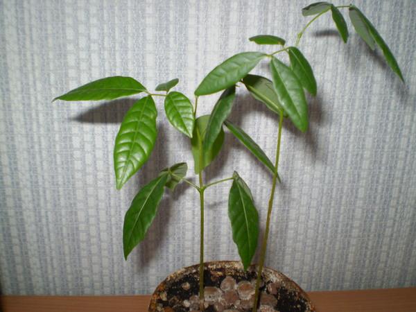 Выращивание лонган из косточки в домашних условиях 894