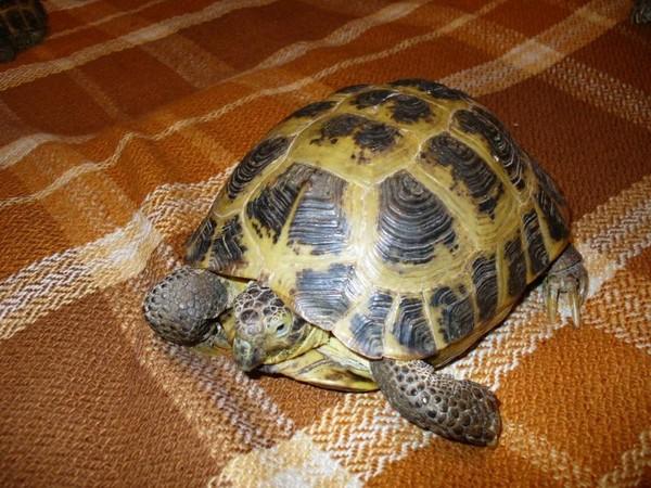 Где живут сухопутные черепахи при домашних условиях - Черепаха сухопутная в домашних условиях