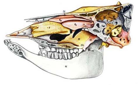 Передние зубы у коров 86