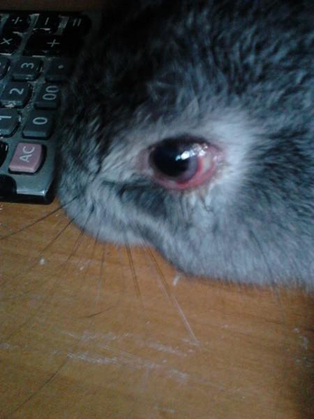 Что делать если у кролика слезятся глаза