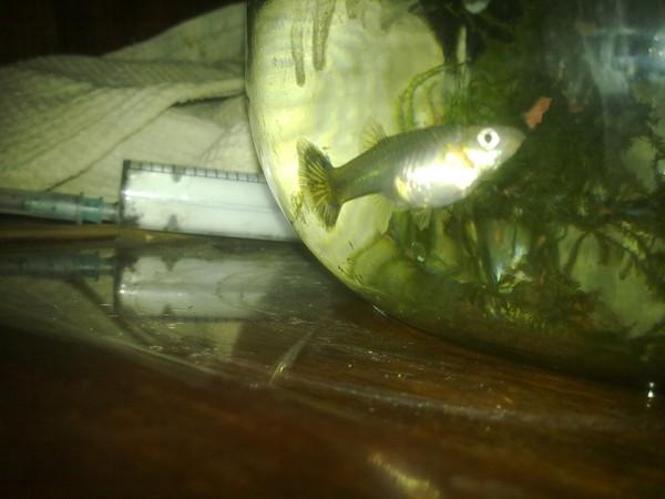 Беременность у рыбок петушков