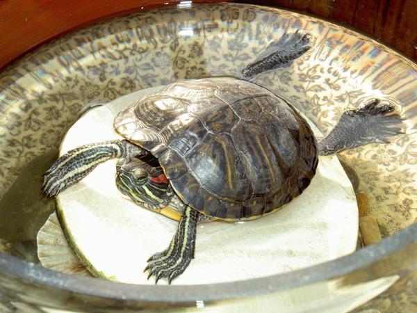 Красноухая черепаха почему облазит
