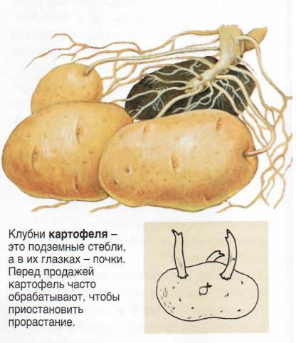Клубни картофеля рецепт и
