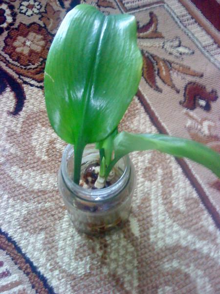 Комнатные клубневые растения фото