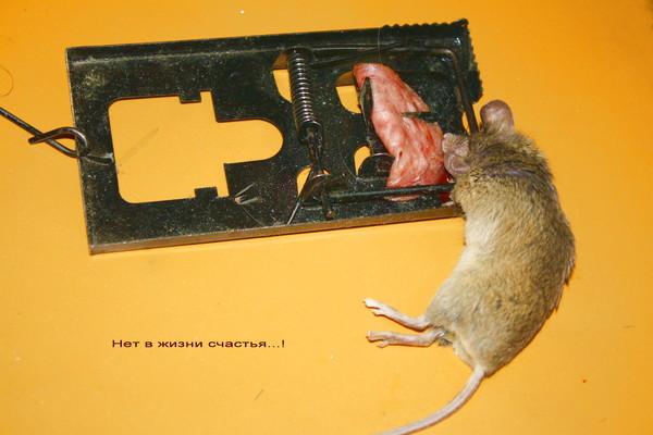 Крысы отрава своими руками 24