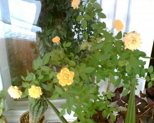 пересаживать розы во сне ответы майл приеме
