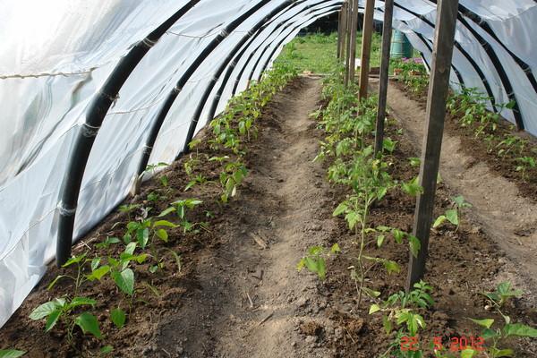 Можно ли помидоры сажать вместе с перцами 143