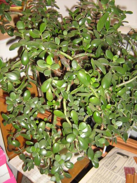 Почему у денежного дерева мелкие листья