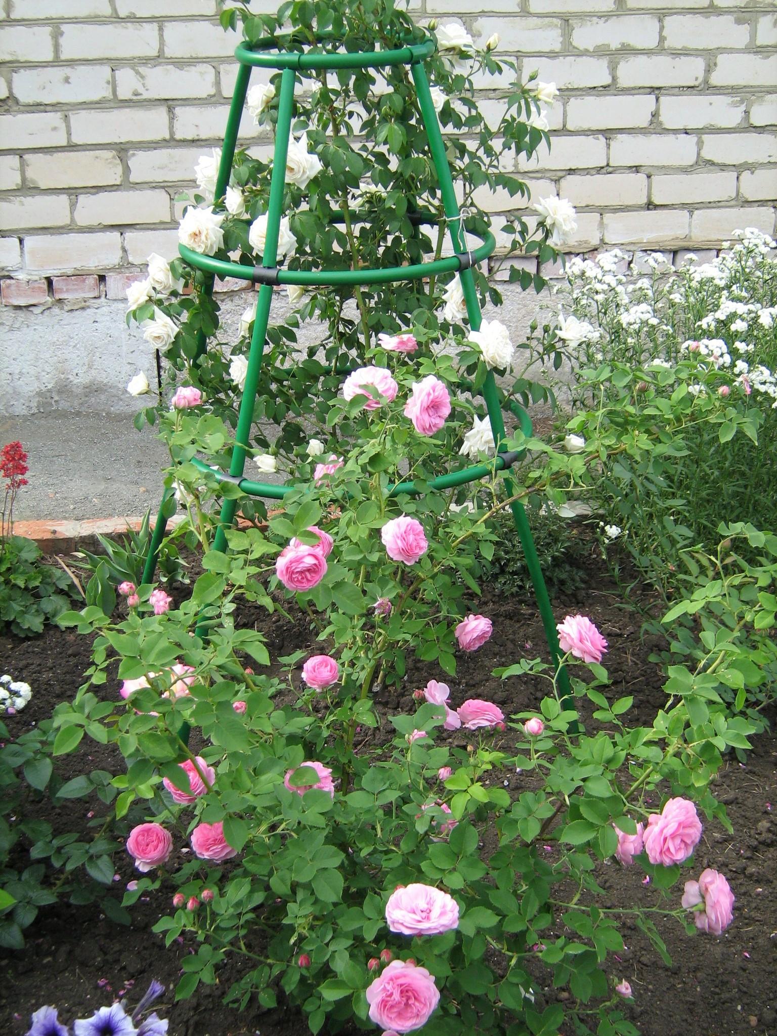 Какие сорта роз лучше всего сажать на наших дачах 29