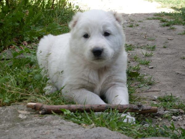 Что за собака азиатская овчарка