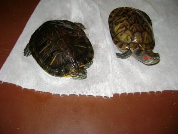 Красноухие черепахи живет на суше