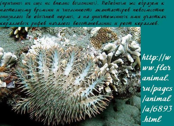 Crown of thorns starfish videos photos and facts