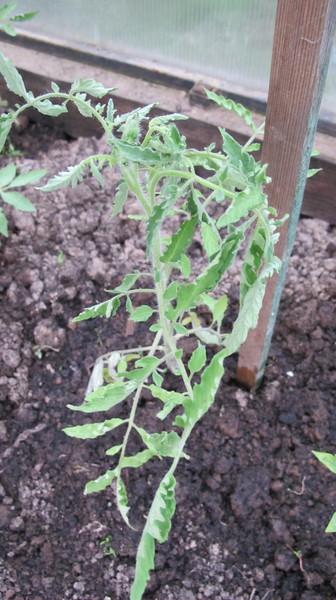 Снится рассада помидоров 33