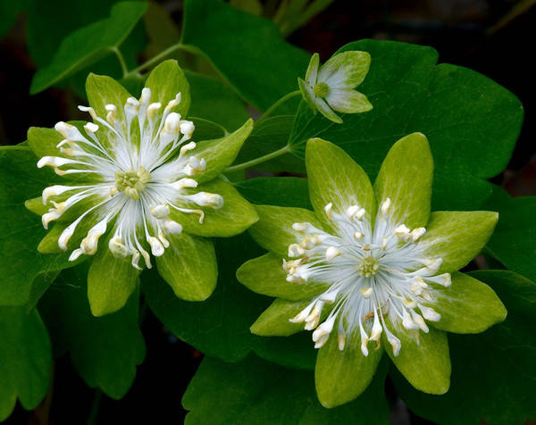 Цветок анемонелла